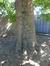 Platane à feuille d'érable – Berchem-Sainte-Agathe, Place de la Gare –  23 Août 2016