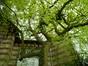 Magnolier de Soulange – Uccle, Hippodrome de Boitsfort –  08 Mai 2012
