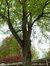 Tilia sp – Uccle, Hippodrome de Boitsfort –  08 Mai 2012