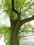 Tilleul argenté pleureur – Uccle, Hippodrome de Boitsfort –  08 Mai 2012