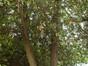 houx – Bruxelles, Square Ambiorix, Marie Louise, Marguerite et avenue Palmerston, Square Marie-Louise –  23 Mai 2012