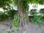 Tilleul à larges feuilles – Bruxelles, Square Ambiorix, Marie Louise, Marguerite et avenue Palmerston, Square Marie-Louise –  23 Mai 2012