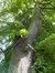 Tilleul argenté pleureur – Bruxelles, Square Ambiorix, Marie Louise, Marguerite et avenue Palmerston, Square Marie-Louise –  23 Mai 2012