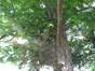 Ptérocaryer à feuilles de frêne – Bruxelles, Square Ambiorix, Marie Louise, Marguerite et avenue Palmerston, Square Marie-Louise –  23 Mai 2012
