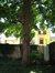 Erable sycomore – Ixelles, Rue du Nid, 28 –  25 Mai 2012
