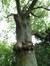 Gewone es – Brussel, Jubelpark, Galliërslaan –  29 Mei 2012