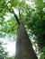 Frêne commun – Bruxelles, Parc du Cinquantenaire, Avenue des Gaulois –  29 Juin 2012