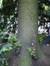 Frêne commun – Bruxelles, Parc du Cinquantenaire, Avenue des Gaulois –  29 Mai 2012