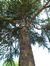 Cèdre de l'Himalaya – Molenbeek-Saint-Jean, Parc du Karreveld , Boulevard Louis Mettewie –  30 Mai 2012