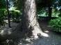 Peuplier du Canada – Molenbeek-Saint-Jean, Parc du Karreveld  –  30 Mai 2012