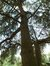 Cèdre bleu de l'Atlas – Molenbeek-Saint-Jean, Parc du Karreveld  –  30 Mai 2012