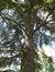 Cèdre bleu de l'Atlas – Molenbeek-Saint-Jean, Parc du Karreveld  –  31 Mai 2012