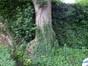 Erable sycomore – Koekelberg, Avenue de la Liberté, 8 –  11 Juin 2012
