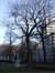 Acer pseudoplatanus f. aureovariegatum