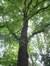 Tilleul à petites feuilles – Uccle, Parc Montjoie –  22 Août 2012