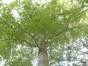 Hêtre pourpre – Uccle, Parc Montjoie –  22 Août 2012