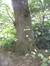 Tilleul argenté – Uccle, Parc Montjoie –  22 Août 2012