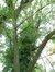 Saule blanc – Watermael-Boitsfort, Parc de la Royale Belge, Boulevard du Souverain, 25 –  23 Août 2012