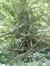 Tilleul commun – Watermael-Boitsfort, Parc de la Royale Belge, Boulevard du Souverain, 25 –  23 Août 2012