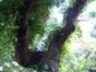 Frêne pleureur – Watermael-Boitsfort, Parc de la Royale Belge, Boulevard du Souverain, 25 –  23 Août 2012