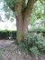 Witte esdoorn – Sint-Jans-Molenbeek, Fuchsiasstraat –  30 August 2012