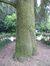 Cèdre bleu de l'Atlas – Forest, Parc Duden –  06 Septembre 2012