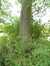 Tilleul argenté – Watermael-Boitsfort, Parc de la Royale Belge, Boulevard du Souverain, 25 –  10 Septembre 2012
