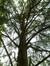 Cèdre bleu de l'Atlas – Watermael-Boitsfort, Parc de la Royale Belge, Boulevard du Souverain, 25 –  10 Septembre 2012