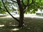 Catalpa commun – Jette, Avenue Joseph De Heyn –  13 Septembre 2012