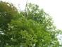 Erable sycomore – Uccle, Avenue des Sorbiers, 3 –  18 Septembre 2012