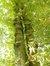 Marronnier commun – Forest, Parc Jupiter –  01 Octobre 2012