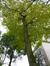 Tilia sp – Ixelles, Parc Buchholtz, Rue Américaine –  08 Novembre 2012