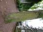 Tilia sp – Elsene, Buchholtzpark, Amerikaanse Straat –  08 November 2012