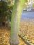 Nothofagus obliqua – Jette, de Levis Mirepoixlaan, 100 –  20 November 2012