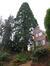 Sequoia géant