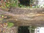 Acer saccharinum var. laciniatum – Uccle, Avenue Montjoie, 200 –  10 Décembre 2012