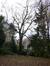 Acer saccharinum var. laciniatum
