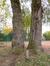 Saule blanc – Woluwé-Saint-Pierre, Parc Parmentier –  09 Novembre 2012