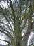 Cèdre bleu de l'Atlas – Bruxelles, Avenue de la Croix-Rouge, 53 –  21 Janvier 2013
