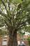 Cerisier du Japon – Ganshoren, Place du Home –  30 Juin 2020