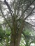 Cèdre bleu de l'Atlas – Jette, Parc de la Jeunesse, Avenue du Comté de Jette –  07 Juin 2018