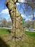 Gewone plataan – Watermaal-Bosvoorde, Omgeving van het gebouw CBR, Terhulpsesteenweg, 185 –  19 April 2013
