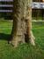 Platane à feuille d'érable – Watermael-Boitsfort, Abords du siège de la cimenterie CBR, Chaussée de La Hulpe, 185 –  19 Avril 2013