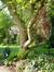 Magnolier de Soulange – Woluwé-Saint-Pierre, Avenue Jules Du Jardin, 13 –  08 Mai 2013