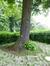 Tilleul du Caucase – Forest, Square de la Délivrance –  17 Mai 2013