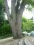 Chêne pédonculé