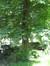 Marronnier commun – Ixelles, Avenue du Bois de la Cambre, 218 –  06 Juin 2013
