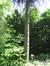 Araucaria du Chili – Ixelles, Avenue du Bois de la Cambre, 218 –  06 Juin 2013
