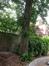 Tilleul commun – Woluwé-Saint-Lambert, Avenue des Ombrages, 35 –  13 Juin 2013