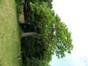 Koninginneboom